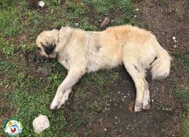 """""""Φόλες"""" κυανίου στο Παρανέστι - τέσσερα νεκρά ζώα"""